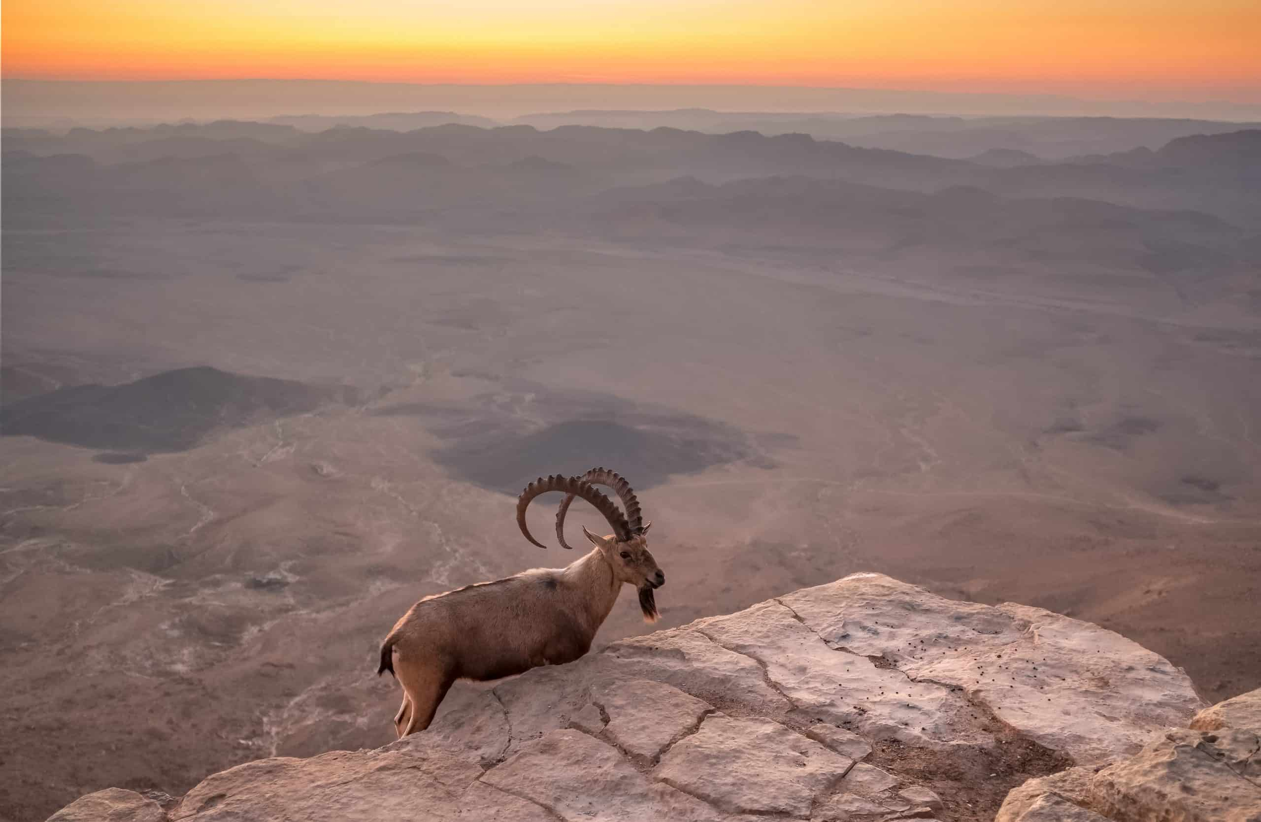 Nubian ibex on the cliff at Ramon Crater at sunrise, Israel